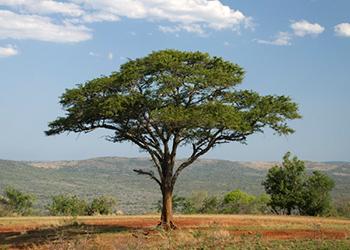 Copac african